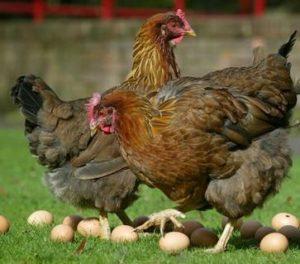 Eet biologische eieren